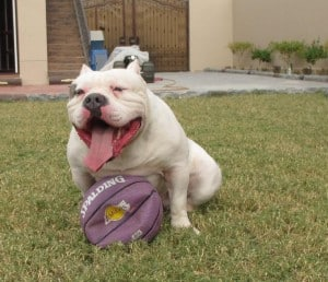 American Bully muscled up on BuffK9 dog vitamin Supplements