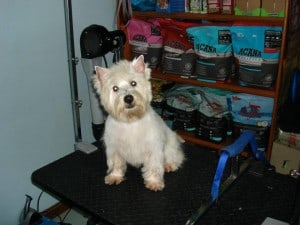 westshire terrier after buffk9 supplements shiny fuller coat