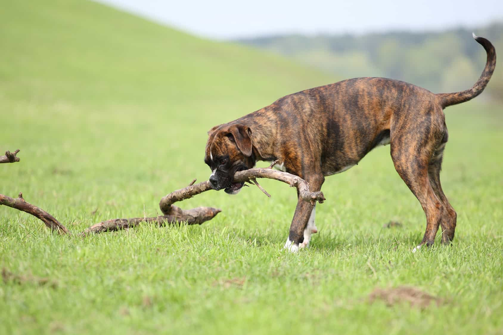 dog agility jump, boxer, pitbull, buffk9