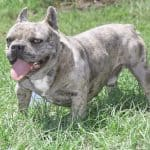 american frapaha bulldog buffk9 bbcr
